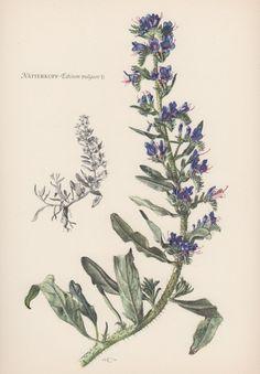 Echium Vulgare, Botany