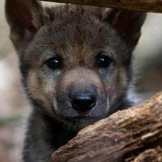 Grey wolf pup, Highland Wildlife Park, Scotland....