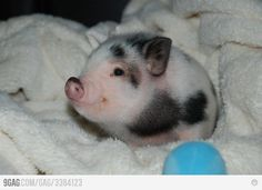piglet! I am in love.