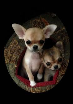 Chihuahuas - Are you kidding me?! So freaking adorable!