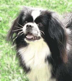 Tibetan Spaniel Information - History, Temperament and Tibbie Links