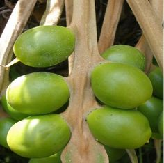 rare fruit trees