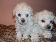Minature Poodle Puppies Pet Dog Puppies For Sale in Ilion, NY A00021 | Want Ad Digest Classified Ads