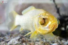 【奇聞】世界其中一條最老金魚 原來已經是37歲?