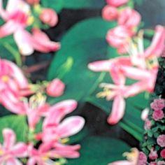 Lonicera (Honeysuckle) from Bulbs, Seeds, Garden, Plants, Lightbulbs, Garten, Lawn And Garden, Bulb, Gardens