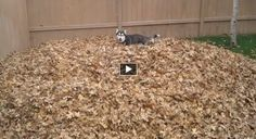 Husky puppy playing in a leaf pile