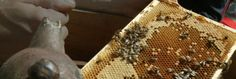 Fortnum's Bees | Fortnum and Mason