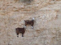 Whose wild idea was the mountain goat? I suppose, since it's their instinct, these goats climbing around on cliffs aren't literall. Funny Goat Pictures, Animal Pictures, Hilarious Pictures, Funny Photos, Animals And Pets, Funny Animals, Cute Animals, Wild Animals, Beautiful Creatures