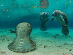 Manatees, Florida  Photograph by Paul Nicklen, National Geographic