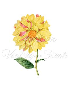 Yellow Flower Clipart - Yellow Flower PNG Illustration - Botanical Flower Digital Image for Printing, Artwork - INSTANT DOWNLOAD - 1197
