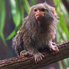The pygmy marmoset is the smallest monkey but not the smallest primate—that's the mouse lemur.