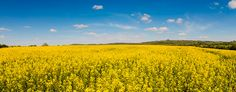 Rapeseed field in the Cotswolds