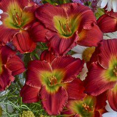 Daylily Ruffles Roots Perennial Resistant Hardy Reblooming Stunning Bonsai Shiny