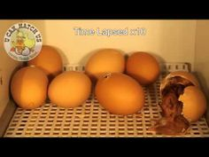 Hatching Chicks Video