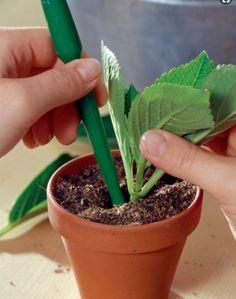 Planter les boutures d'hortensias dans un pot de 6-8 cm de diamètre, avec mélange de sable et de terreau, à parts égales. Arrosez légèrement, coiffez le pot d'un sac plastique transparent percé de trous. #hortensia #bouture #bouturage #été #conseil #jardinage