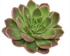 Gilua - Echeveria - Flowers and Fillers - Flowers by category | Sierra Flower Finder