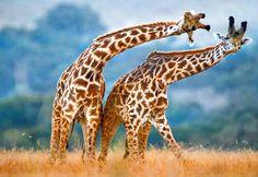 Girafas entram para a lista de animais ameaçados de extinção