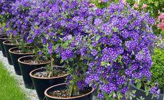 Der Kartoffelstrauch (Lycianthes rantonnetii) zeigt als Kübelpflanze ein…
