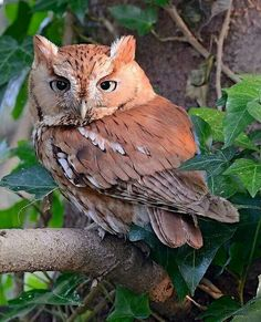 Eastern Screetch Owl.