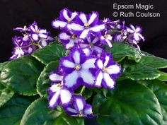 Epsom Magic is a reliable blue and white chimera African violet