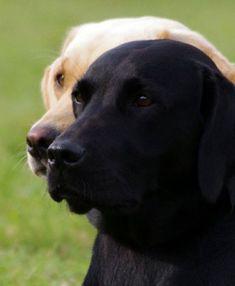 Labrador Retrievers ~ Classic Look