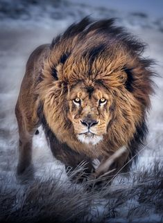 The lion tattoo is an excellent way to express to the world that you are in fact a born leader. Although the lion is often considered to rep. Lion Images, Lion Pictures, Pictures Images, Animals Beautiful, Cute Animals, Beautiful Lion, Pretty Animals, Wild Animal Wallpaper, Tier Wallpaper