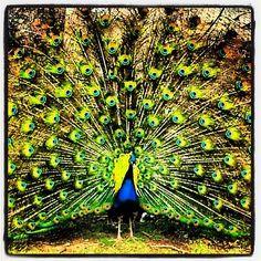 Farm Animals- Peacock by damienfoley