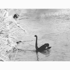 Black swan ★★★★★ #skiathos #beach #black #swan #swanlake #instalove #instanature #animalkingdom #greecestagram #instagreece #lovegreece
