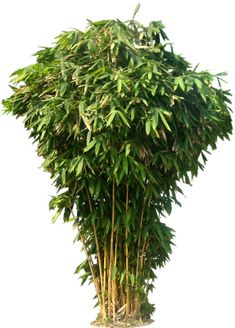 20 Free Tree PNG Images - Bamboo Tree
