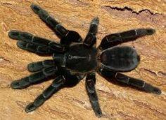 Haplopelma Minax--OMG how gorgeous a black velvet spider!
