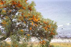 Mooie oranje bessen aan een doornige struik: als je aan de kust woont, herken je ze direct. De doorns en de vrij zure smaak schrikken veel mensen af. Maar laat je niet weerhouden en oogst een kilo of twee...