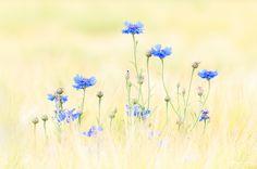 cornflower by Jeffrey Van Daele
