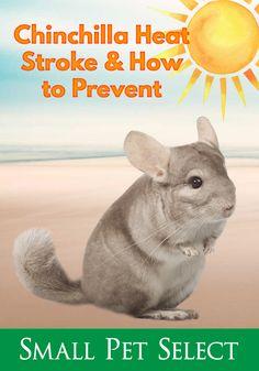 Chinchillas come from a cold environment in the wild. When domesticated, chinchillas are prone to chinchilla heatstroke when their home environment changes. What are symptoms, causes, treatment and prevention measures to take from chinchilla heat stroke? Chinchilla Cage, Chinchillas, Summer Heat, Happy Life, Need To Know, The Selection, Environment, Pets, Learning