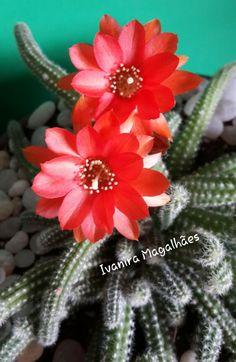 Echinopsis chamaecereus ou cacto amendoin