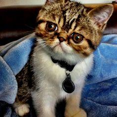 My Exotic Shorthair kitten. Oliver :)