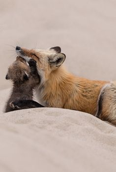 Red Foxes by Chris He - 2013