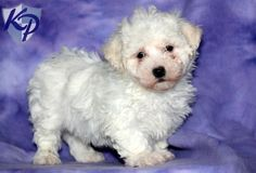 Princess – Bichon Frise Puppies for Sale in PA | Keystone Puppies