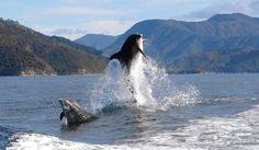 Dolphins en-route to the Bay of Many Coves Resort in the Queen Charlotte Sound, Marlborough, NZ.