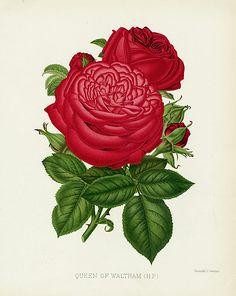 William Paul Rose Prints, The Rose Garden 1888.USD $65. #rose #flower #garden #botanical #gardening #oldbook #antiqueprint #art #interiordecorating