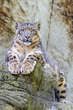 Snow Leopard-just chillin'