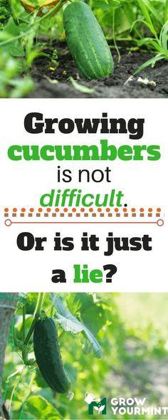 how to grow cucumbers #garden#gardening#growyourmint.com