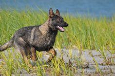 schutzhund   German Shepherd Puppies in Massachusetts, Imported German Shepherds ...