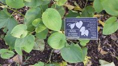 the awa plant also known as kava