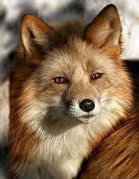 「fox beautiful」の画像検索結果