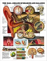 When Dizziness Isn't Vertigo. http://clinicalposters.com/news/2010/20100920_vertigo.html Hearing and Balance anatomy poster