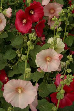 Pink & Red Hollyhocks