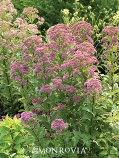 Baby Joe Dwarf Pye Weed. Zones 4 – 9. Part shade to part sun. Grows in clumps 3' – 4' tall and 2' – 3' wide. Blooms late summer to fall. Herbaceous perennial.