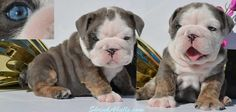 Mini English Bulldog Puppies Ohio | ENGLISH & FRENCH BULLDOG PUPPIES FOR SALE: