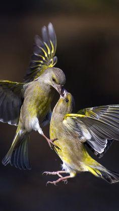 Birds, kiss in flight, Nature Animals, Animals And Pets, Cute Animals, Bird Wallpaper, Animal Wallpaper, Cute Birds, Pretty Birds, Most Beautiful Birds, Animals Beautiful