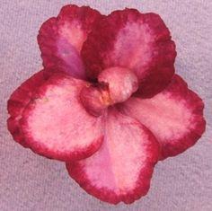 Scarlet Sky African violet